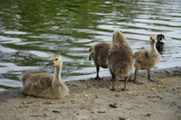 a group of baby geese
