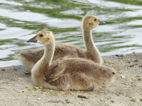 view--different opinions of two baby geese