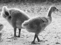 regrets of the baby geese