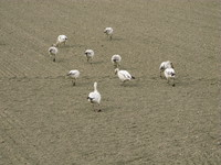 big snow geese family