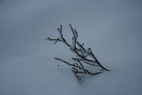 051111172233_white_branch_on_mount_seymour
