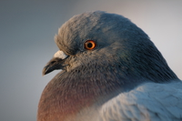 view--pigeon closeup