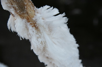 snow feather