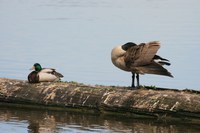 mallard and canadian goose
