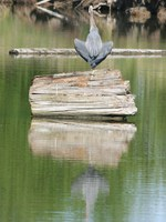 view--great blue heron