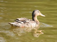 young or female mallard
