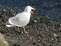 seagull eating star fish