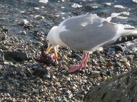 seagull pecking star fish