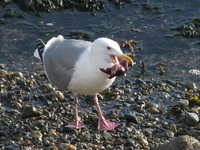 seagull biting star fish