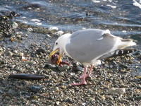seagull swallowing star fish