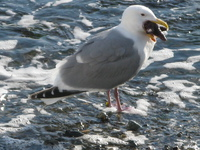 seagull killed star fish