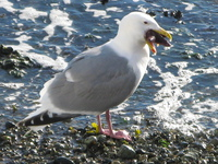 seagull eat star fish