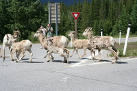 060619102914_goat_crossing_in_front_of_yield_sign
