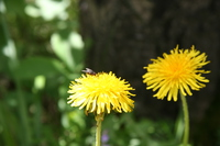 060619110635_fly_on_yellow_flower