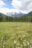 flower field in front of mount robson