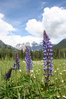 view--purple flowers in front of mount robson