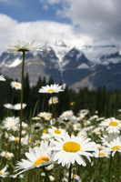 view--white flowers in front of mount robson