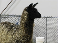 tradex pet show - lama