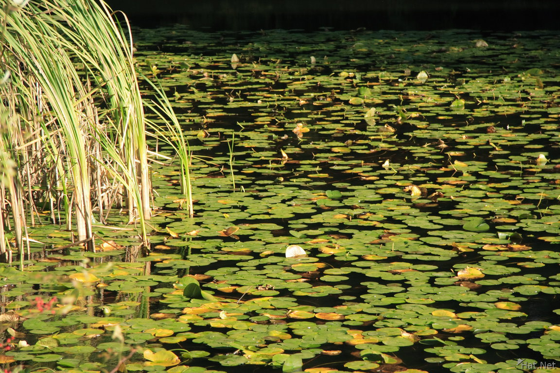 pond of water lily
