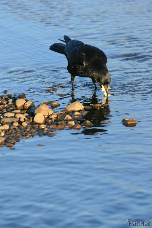 crow drink water
