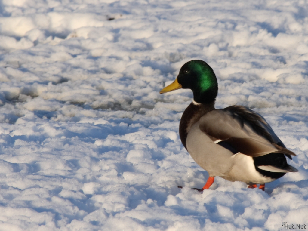 duck in snow