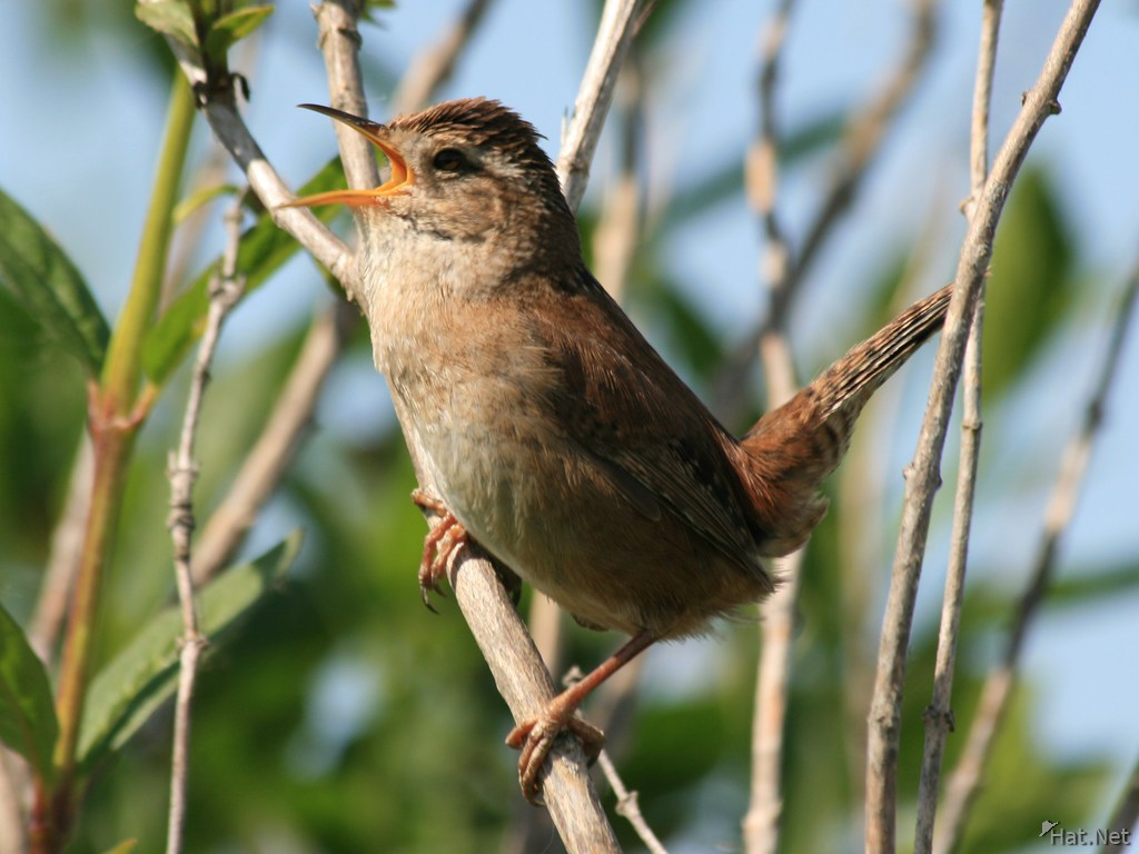 view--bewicks wren