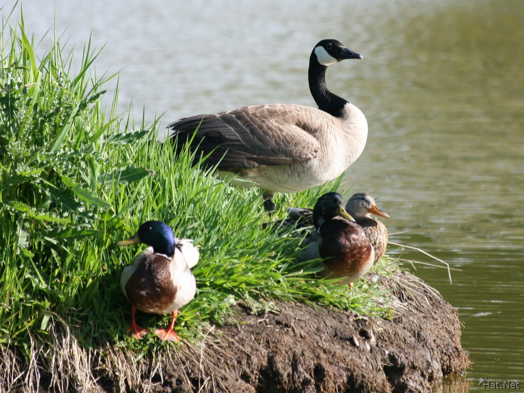 canadian goose and mallard