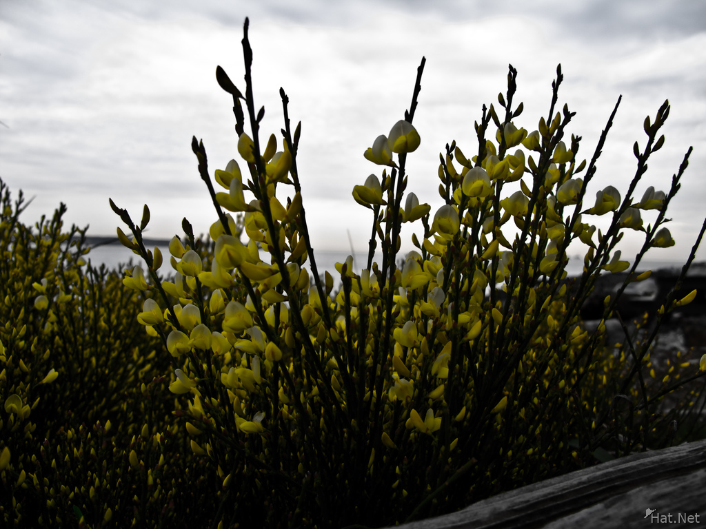 yellow bush flowers