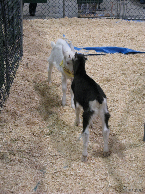 dueling baby goats